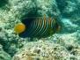 Pfauenaugen-Kaiserfisch (Pygoplites diacanthus)