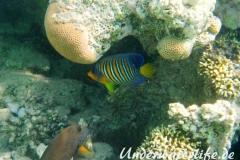 Pfauenaugen-Kaiserfisch_adult-Marsa alam-2012-1