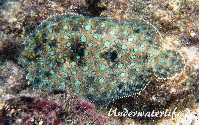 Pfauenflunder_Bothus lunatus_adult-Karibik-2014-001