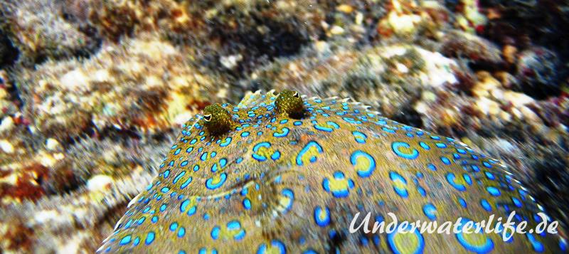 Pfauenflunder_Bothus lunatus_adult-Karibik-2014-003