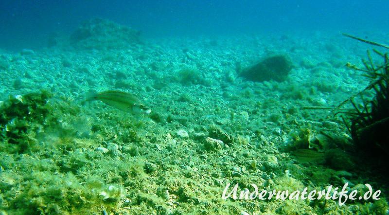 Pfauenlippfisch_adult-Dubrovnik-2015-002