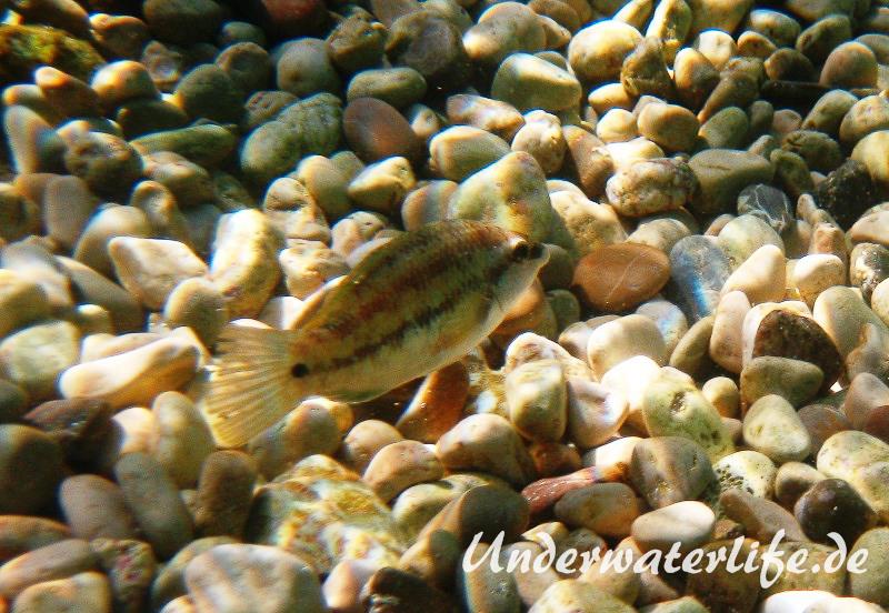 Pfauenlippfisch_adult-Dubrovnik-2015-009