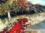Pfeil-Gespensterkrabbe (Stenorhynchus seticornis)