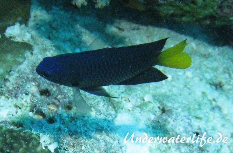 Philipinen-Demoiselle_adult-Malediven-2013-01