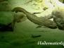 Europa Süßwasser Dorschartigen-Gadiformes-anacanthini