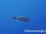 Indopazifik Kugelfische-Tetraodontidae-Puffers