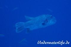 Riesen-Kugelfisch_adult-Malediven-2013-01