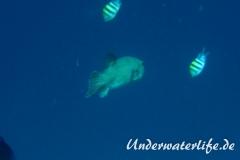 Riesen-Kugelfisch_adult-Malediven-2013-02