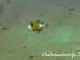 Indopazifik Drückerfische-Balistidae-Triggerfishes