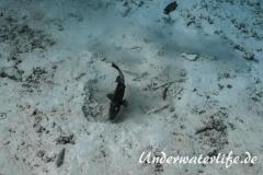 Riesendrueckerfisch_adult-Thailand-2017-002