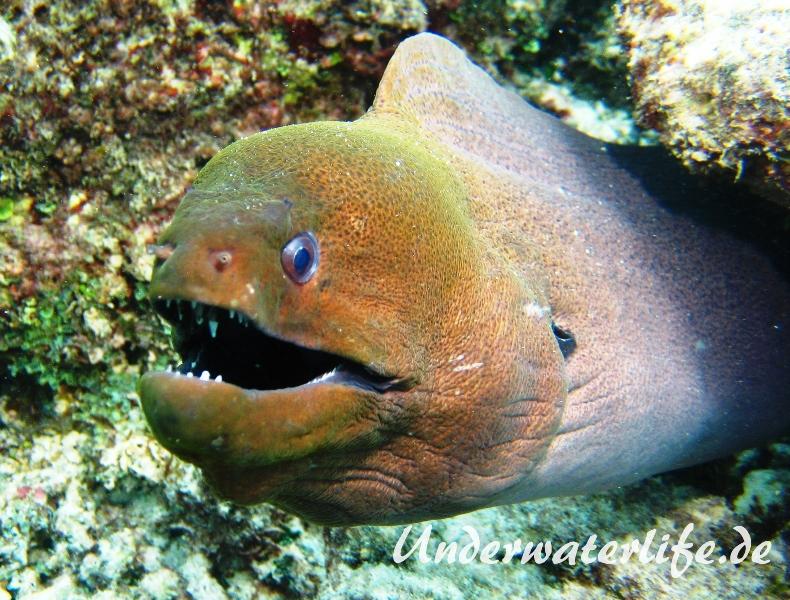 Riesenmuraene_adult-Malediven-2013-002
