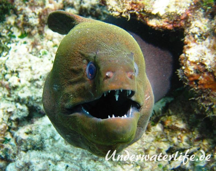 Riesenmuraene_adult-Malediven-2013-003