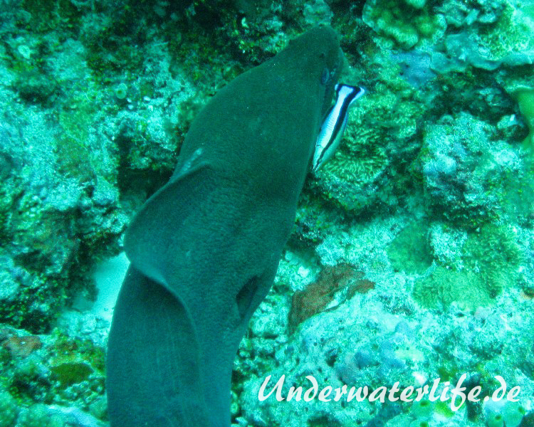 Riesenmuraene_adult-Malediven-2013-007