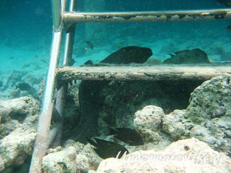 Riesenmuraene_adult-Malediven-2013-008