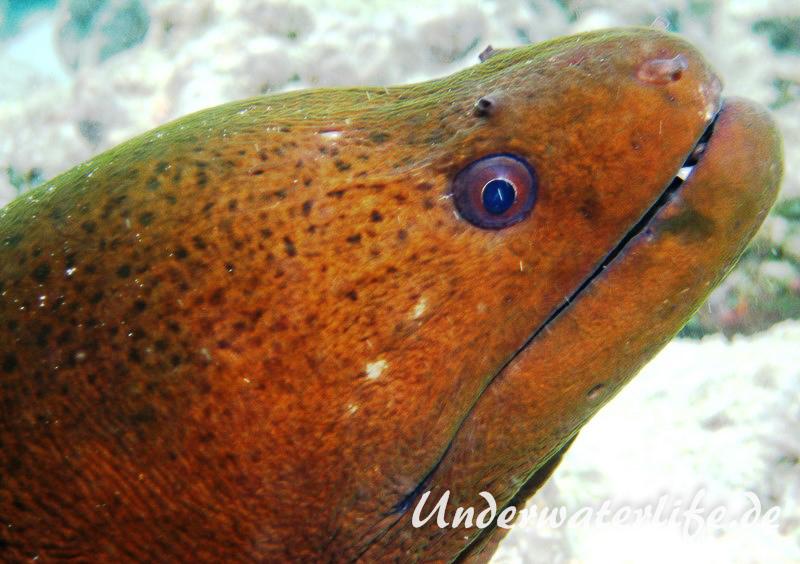 Riesenmuraene_adult-Malediven-2013-011