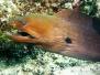Riesenmuräne (Gymnothorax javanicus)