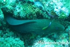 Riesenmuraene_adult-Malediven-2013-004