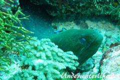 Riesenmuraene_adult-Malediven-2013-005