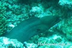 Riesenmuraene_adult-Malediven-2013-006