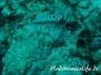 Riff-Eidechsenfisch (Synodus variegatus) Indik