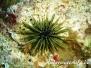 Riffdachseeigel (Echinometra viridis)