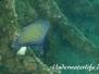 Indopazifik Kaiserfische-Pomacanthidae-Angelfishes
