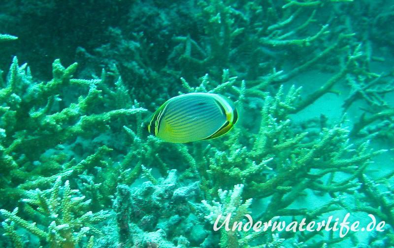 Rippen Falterfisch_adult-Malediven-2013-05