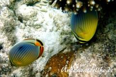 Rippen Falterfisch_adult-Malediven-2013-01