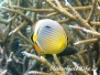 Rippen Falterfisch (Chaetodon trifasciatus)