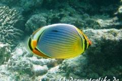 Rippen Falterfisch_adult-Malediven-2013-03