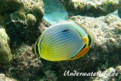 Rippen Falterfisch_adult-Malediven-2013-04