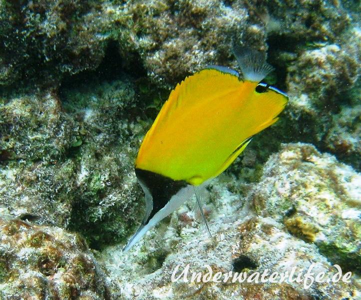 Roehrenmaul-Pinzettfisch_adult-Malediven-2013-07