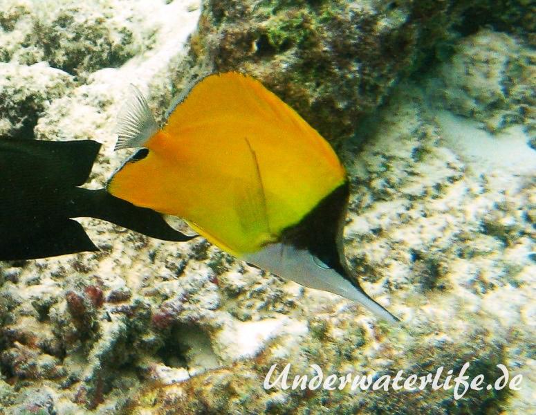 Roehrenmaul-Pinzettfisch_adult-Malediven-2013-08