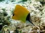 Röhrenmaul-Pinzettfisch (Forcipiger flavissimus) Indik