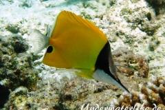 Roehrenmaul-Pinzettfisch_adult-Malediven-2013-01