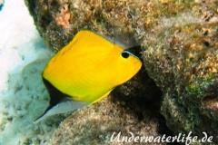 Roehrenmaul-Pinzettfisch_adult-Malediven-2013-03