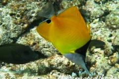Roehrenmaul-Pinzettfisch_adult-Malediven-2013-04
