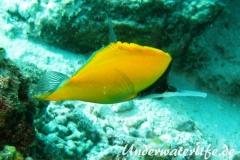 Roehrenmaul-Pinzettfisch_adult-Malediven-2013-06