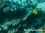 Röhrenmaul-Pinzettfisch (Forcipiger flavissimus) Indopazifik