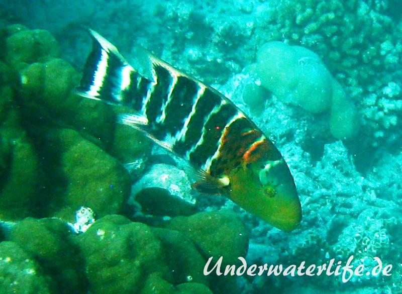 Rostbrust-Prachtlippfisch_adult-Malediven-2013-01