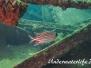 Roter Eichhörnchenfisch (Sargocentron rubrum) Indopazifik