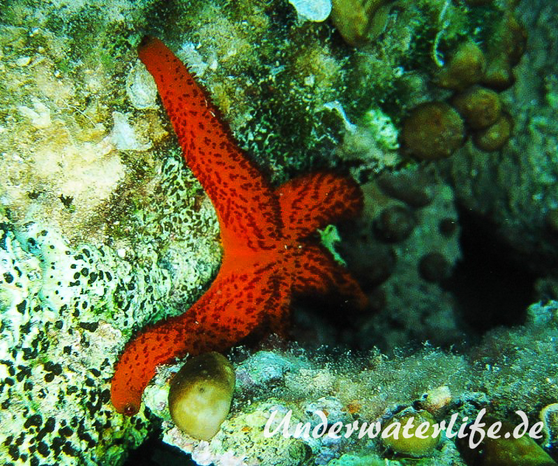 Roter Seestern-Dubrovnik-2015-002