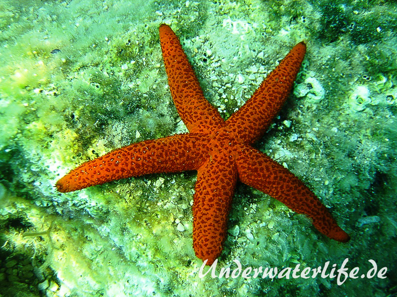 Roter Seestern-Dubrovnik-2015-006