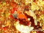 Roter Spitzkopf-Schleimfisch (Tripterygion tripteronotus)