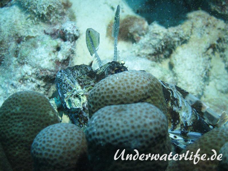 Gewoehnlicher-Rotfeuerfisch_adult-Malediven-2013-003
