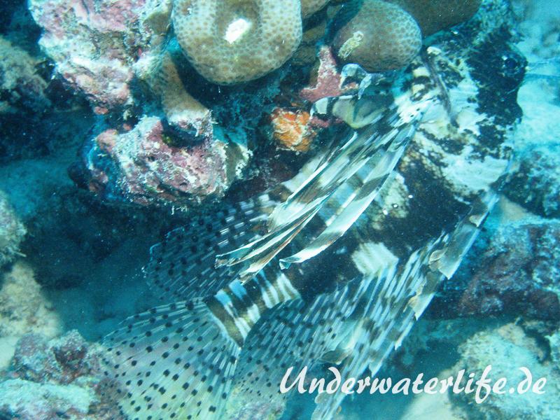 Gewoehnlicher-Rotfeuerfisch_adult-Malediven-2013-004