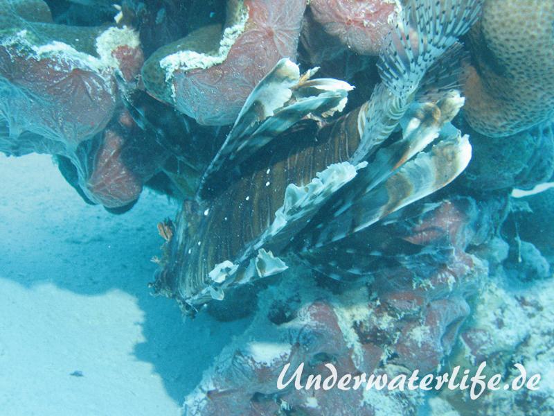 Gewoehnlicher-Rotfeuerfisch_adult-Malediven-2013-005