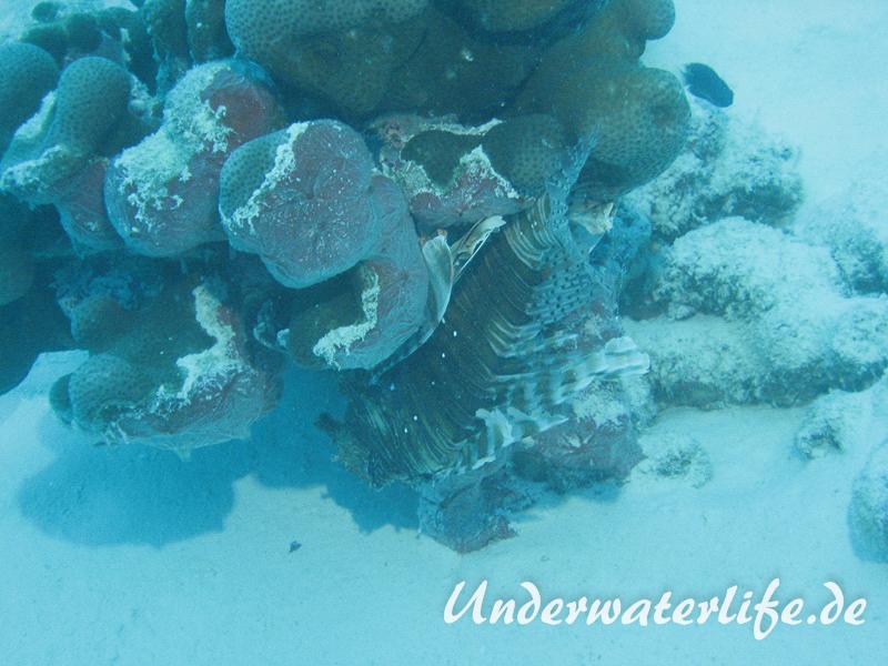Gewoehnlicher-Rotfeuerfisch_adult-Malediven-2013-006