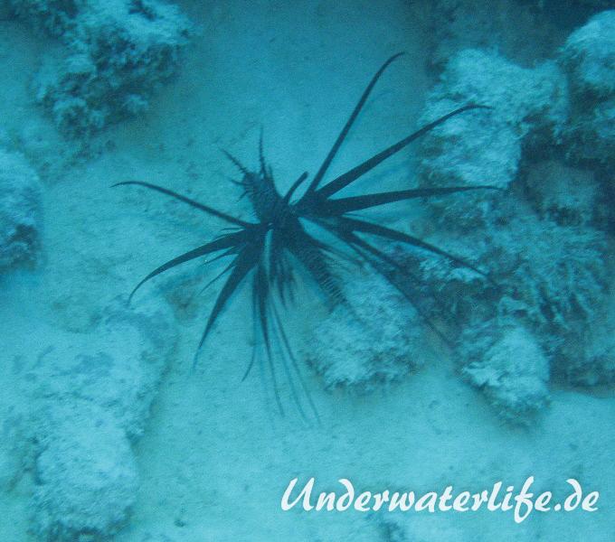 Rotfeuerfisch schwarze Variante_adult-Malediven-2013-03