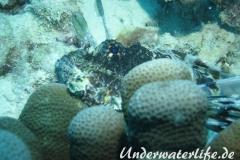 Gewoehnlicher-Rotfeuerfisch_adult-Malediven-2013-002
